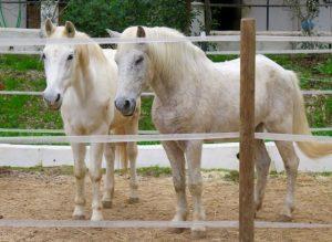 White horses at Santa Maria.