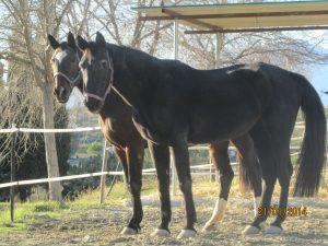 Two beautiful brown horses at Santa Maria.